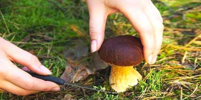 Recolección de setas y hongos